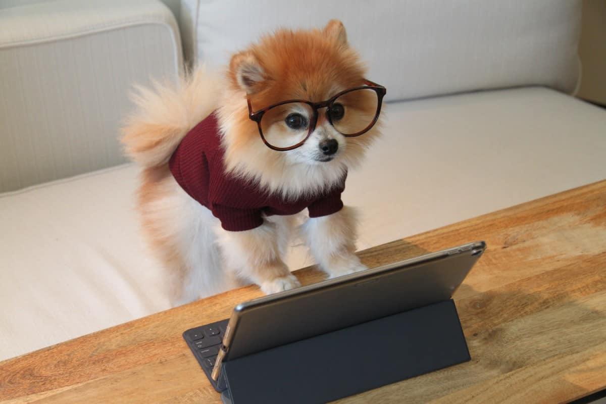 zwierzak przy komputerze